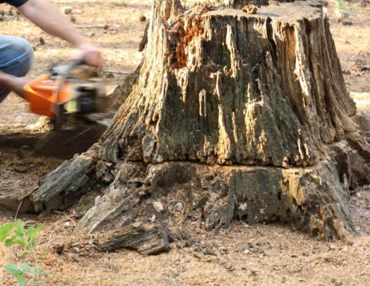 Stump Removal-Apollo Beach FL Tree Trimming and Stump Grinding Services-We Offer Tree Trimming Services, Tree Removal, Tree Pruning, Tree Cutting, Residential and Commercial Tree Trimming Services, Storm Damage, Emergency Tree Removal, Land Clearing, Tree Companies, Tree Care Service, Stump Grinding, and we're the Best Tree Trimming Company Near You Guaranteed!